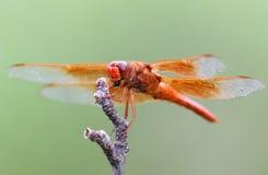 arizona dragonfly pomarańczowy sierra dukt obrazy royalty free