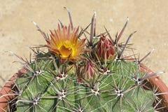 Arizona-Fass-Kaktus in der Blüte lizenzfreie stockfotos