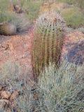 Arizona-Fass-Kaktus und Wüsten-Gras lizenzfreie stockfotos