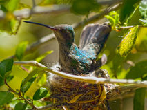 Arizona Female Broad-billed Hummingbird sitting on nest Stock Image