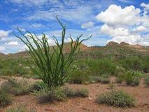 Arizona Fouquieria Ocotillo Stock Images