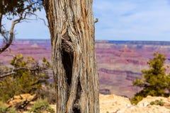 Arizona Grand Canyon Juniper tree trunk texture Royalty Free Stock Photos