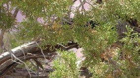 Arizona, Grand Canyon, pájaro del cascanueces de A clark en un árbol que se cierra de golpe el pico en el miembro de árbol metrajes