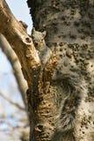 Arizona Gray Squirrel. Arizona Grey Squirrel (Sciurus arizonensis) is a shy resident of riparian broad leaf forests of Arizona, New Mexico and Mexico Royalty Free Stock Photo