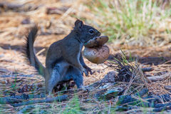 Arizona Gray Squirrel stockfotografie