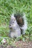 Arizona gray squirrel (Sciurus arizonensis) Royalty Free Stock Photography