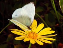 Arizona Great Southern White Butterfly Stock Photography