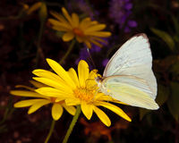 Arizona Great Southern White Butterfly Stock Images