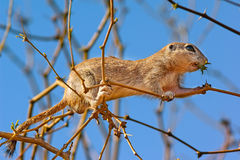 Arizona Ground Squirrel out on a limb Royalty Free Stock Images