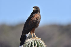 Arizona Harris Hawk Arkivbilder