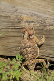 Arizona Horned Toad Stock Images