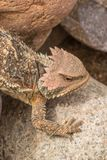 Arizona Horned Toad. A cute Arizona horned toad lizard Stock Images