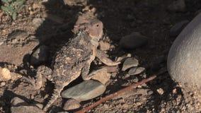 Arizona Horned Toad Lizard in Rocks. A cute arizona horned toad lizard stock footage