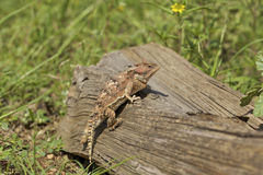 Arizona Horned Toad on Log Stock Images
