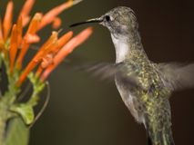 Arizona Humming Bird Hovering Royalty Free Stock Images