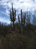 Arizona-Kaktus Lizenzfreie Stockfotografie