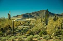 Arizona kaktus Arkivbilder