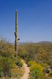 arizona kaktusa pustyni saguaro Obraz Royalty Free