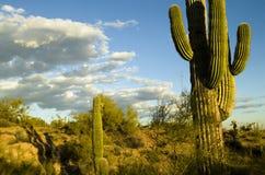 arizona kaktusa saguaro Zdjęcia Stock