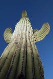 arizona kaktusa saguaro Obrazy Stock