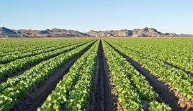 Arizona-Kopfsalatfeld Lizenzfreie Stockfotos