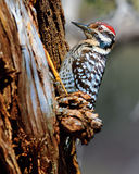 Arizona Ladder-back Woodpecker royalty free stock photo