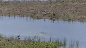 Arizona, Lake Mary, A view of two ducks and a cormorant bird on Lower Lake Mary. A view of two ducks and a cormorant bird on Lower Lake Mary stock video footage