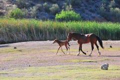 Arizona Landscape with Salt River Wild Horses Stock Photos