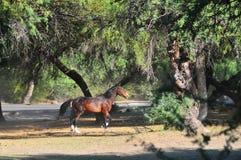Arizona Landscape with Salt River Wild Horses Royalty Free Stock Photography