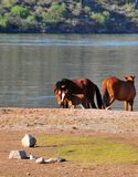 Arizona Landscape with Salt River Wild Horses Stock Photography
