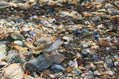 Arizona Lizard Camouflaged in Rocks Stock Photo