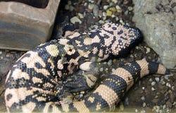 Arizona lizard, the Gila monster Stock Photography