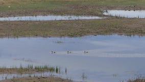 Arizona, Meer die Mary, Drie eenden op welke overblijfselen van Lager meer Mary zwemmen stock video