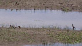 Arizona, Meer Mary, Vijf eenden en een aalscholvervogel op het resterende water van Lager Meer Mary stock video