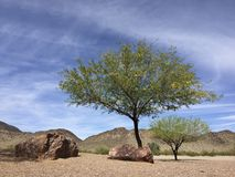 Arizona Mesquite tree in desert backyard Royalty Free Stock Photos