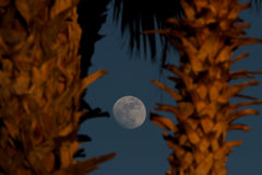 Arizona Moon. An Arizona Moon rises and the sun sets on two Palm Trees Royalty Free Stock Photo