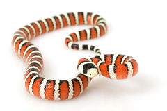 Arizona Mountain Kingsnake Royalty Free Stock Photo