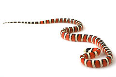 Arizona Mountain Kingsnake Royalty Free Stock Photos