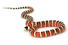 Arizona Mountain Kingsnake Royalty Free Stock Images