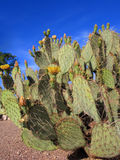 Arizona Nopal Cactus Royalty Free Stock Photos