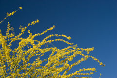 Arizona Palo Verde Crown. Golden Spring Crown of Arizona Palo Verde Tree (Fabaceae Parkinsonia Microphyllum); on blue sky background Royalty Free Stock Images