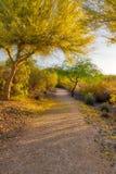 Arizona Palo Verde drzewo w kwiacie Fotografia Royalty Free