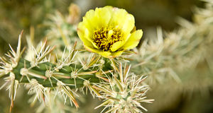 Arizona Pencil Cholla Blossom Stock Photography