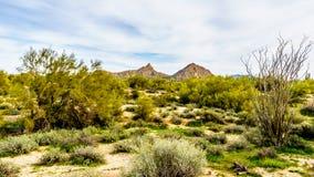 Arizona pustyni krajobraz z swój wiele Saguaro i inne góry kaktusów i odległych Obrazy Royalty Free