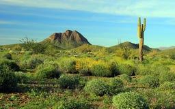 Arizona pustyni zieleni wiosny scena Obrazy Stock