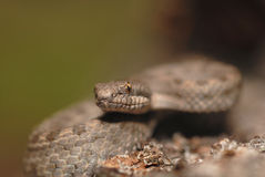 Arizona Rattlesnakes Royalty Free Stock Photography