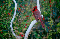 Arizona Redbird Royaltyfria Bilder