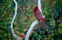 Arizona Redbird. A Redbird (Cardinal) perched on a branch in Arizona Royalty Free Stock Images