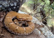 Arizona Ridge-nosed Rattlesnake Stock Photos