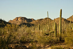 Arizona's Saguaro National Park Stock Images